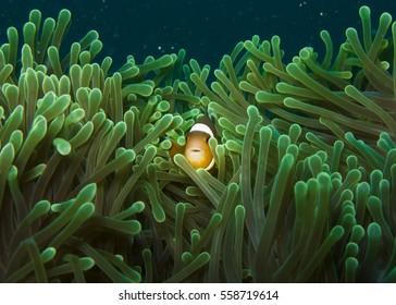 Clownfish (Amphiprion ocellaris)  in sea anemone