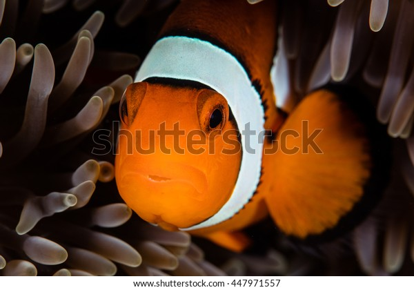 A Clownfish (Amphiprion percula) snuggles among the tentacles of its host anemone on a reef in the Pacific. The relationship between anemone and fish is a mutualistic symbiosis.
