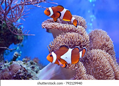 Clownfish, Amphiprioninae, in aquarium tank with reef as background.