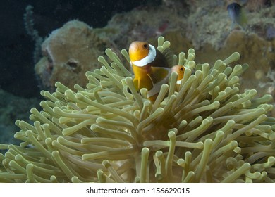 Clownfish in andaman sea.,Thailand