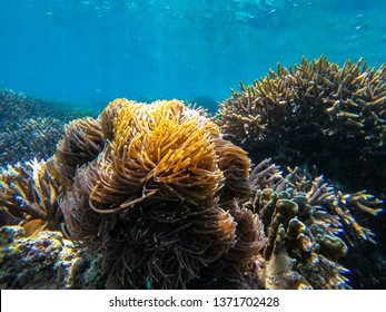 clownfish and anemone clump at Boulder island,Myanmar