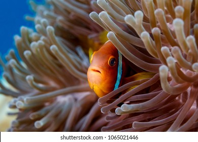 Clownfish, an anemone fish, peering through the tentacles of a sea anemone