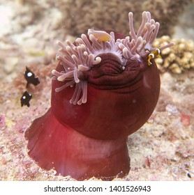 clownfish and anemone Philippines Moalboal Cebu