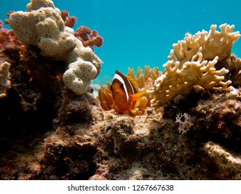 Clownfish in anemone tentacles