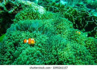 Clownfish, Anemonefish, Amphiprion percula, swimming among the tentacles of its anemone home underwater in Similan sea at Phang Nga Province near Phuket City in Southern of Thailand.
