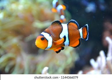 Clownfish/ anemonefish/ amphiprioninae