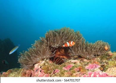 Clownfish anemonefish fish