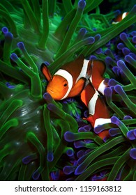 Clownfish or anemonefish are fishes from the subfamily Amphiprioninae in the family Pomacentridae. Nudibranch is the beautiful sea slug.