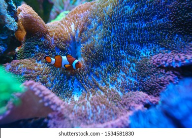 Clownfish or anemonefish are fishes from the subfamily Amphiprioninae in the family Pomacentridae, in aquarium tank with reef as background.