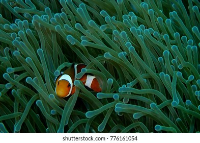 Clownfish or anemonefish are fishes from the subfamily Amphiprioninae in the family Pomacentridae. Clownfish are also known as anemone fish and have many interesting features.