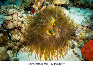 Clownfish or anemonefish living in their magnificent sea anemone on a colorful coral reef, Red sea, Egypt.