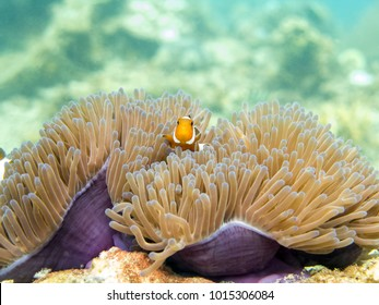 Clownfish (anemonefish) - Perhentian Islands, Malaysia