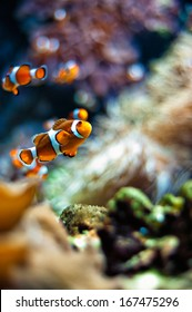 Clownfish a beautiful closeup in an aquarium