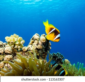 Clownfish in blue water above its host anemone