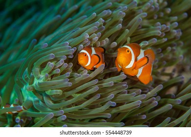 Clownfish close-up. Sipadan island. Celebes sea. Malaysia.