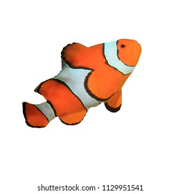 Clownfish - Clown Anemonefish fish isolated on white background