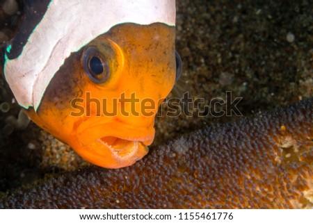 Clownfish Fish Eggs Stock Photo Edit Now 1155461776 Shutterstock