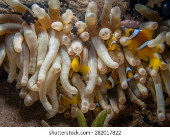 Clownfish Group Hiding in Anemone