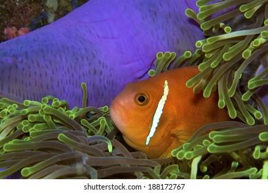 Clownfish hiding in an anemone