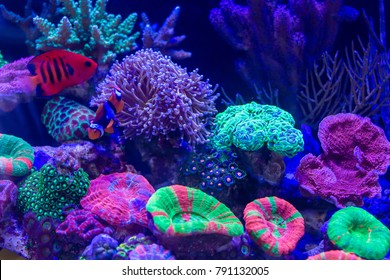 Clownfish as known as Anemonefish can use Long Polyps Stony Coral to be Home Such as Torch Coral etc.