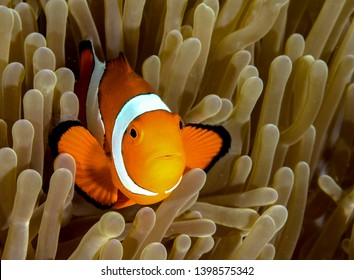 Clownfish from Moalboal cebu diving