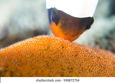Clownfish Mother Nemo with babies in eggs