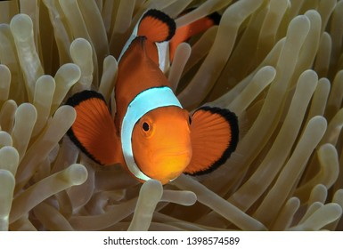Clownfish Nemo Moalboal cebu diving