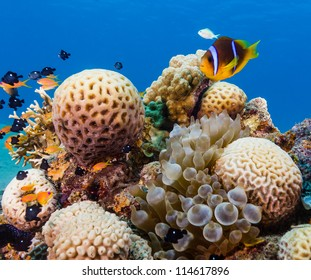 Clownfish next to a bubble anemone and hard coral