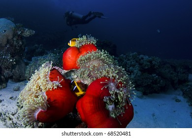 Clownfish on an anemone with a diver in the background, in the Red Sea, Egypt