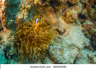 Clownfish on a coral reef of the Red Sea