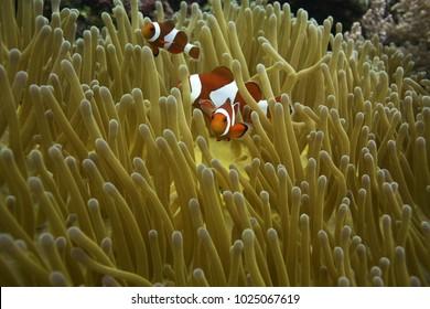 clownfish of philippines