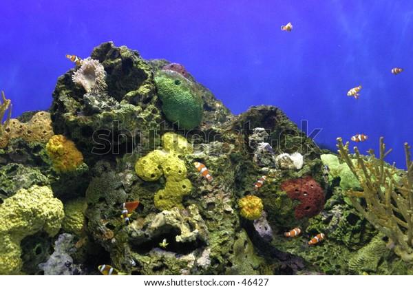clownfish at reef