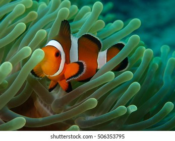 Clownfish resting in the sea anemone