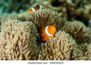 A clownfish and sea anemone