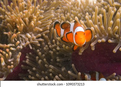 Clownfish with Sea anemone at Koh Sunin - Thailand. Underwater macro photo, it not fully clearly water due to this photo was taken at very shallow water.