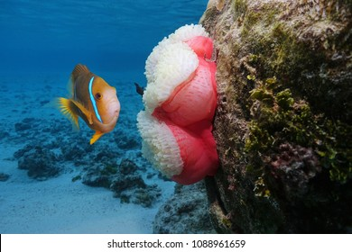 A clownfish with a sea anemone underwater, Pacific ocean, Polynesia, Rarotonga, Cook islands
