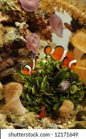 Clownfish and shrimp