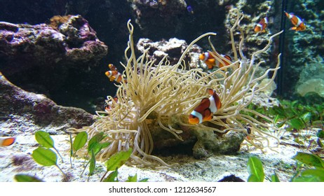 Clownfish swarming in an aquarium tank in anemone filaments