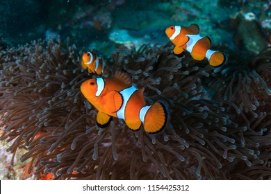 Clownfish swimming on a tropical coral reef in the Mergui Archipelago, Myanmar