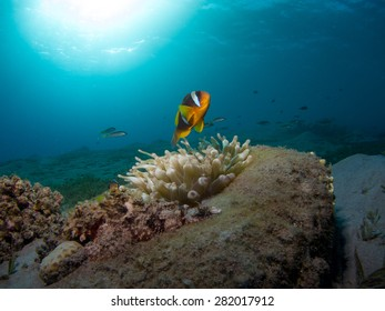 Clownfish swinning over Anemone with Blue Background and sun bea