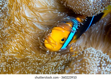 A clownfish tucked into it's host anemone on the reef in the warm tropical waters of Guam