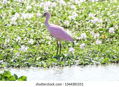 Clsoe up of a Roseate Spoonbill (Platalea ajaja) on a marsh