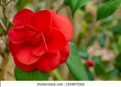 Clsoe-up of a beautiful red Camellia japonica (Japanese Camellia) in March. View of a red Japanese Camellia Flower. Flowering Camellia japonica with green Leaves.