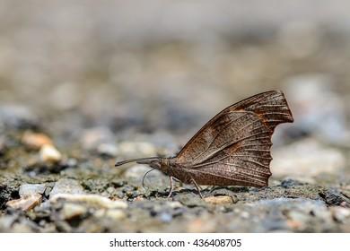 Bộ sưu tập cánh vẩy 5 - Page 6 Club-beak-libythea-myrrha-sanguinalis-260nw-436408705