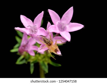 Clubonia sac spider resting on purple star flowers