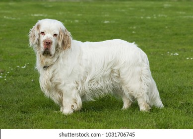 Clumber spaniel in a meadow