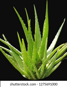 Clump of Aloe Vera plant  isolate on black background.Medical and skin care.