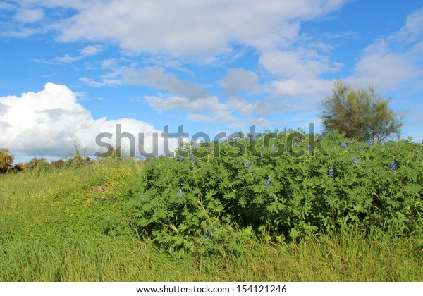 A clump of annual blue spring  flowering lupin plants  is naturalised on the green parkland  at the Leschenault Estuary  mangrove reserve  in Bunbury western Australia.