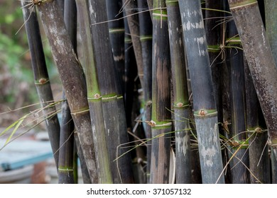 clump black bamboo is species that are rare.