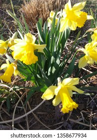 clump of bright yellow daffodil blooms with cut ornamental grass in the background